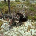 Luonnonvoimille antautunut puu